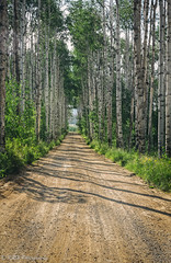 Summer Cruising, Aspen Alley (KRHphotos) Tags: trees aspenalley landscape medicinebownationalforest nature dirtroad aspentrees road forest wyoming encampment unitedstates us