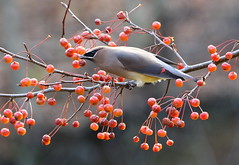 Decisions Decisions (Diane Marshman) Tags: cedar waxwing cedarwaxwing medium size bird black face mask head crest gray tan yellow body wings tail feathers red tips fall season crabapple tree fruit northeast pa pennsylvania nature wildlife