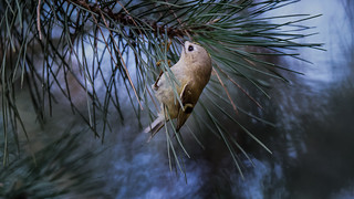 Goldcrest in forest (3/3)