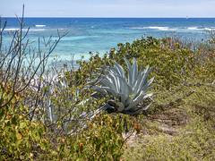 2017-04-22_11-09-33 Agave Plant, Pinel Island (canavart) Tags: sxm stmartin stmaarten sintmaarten pinelisland caribbean fwi island ocean tropicalparadise agave
