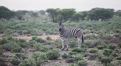 Namibia Etosha Zebra (Sas & Rikske) Tags: canon eos1d x canoneos1dx canon100400 eric bruyninckx riksketervuren namibië namibia namib animal animals safari africa afrika etoshagamepark etosha game park etoshapan pan greatwhiteplace great white place oshindonga ndonga landscape green blauwevogelreizen 2017 zebra red hartebeest springbok billy