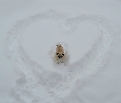 My Snowy Valentine! (DaPuglet) Tags: pug pugs dog dogs pet pets animal animals snow winter february valentine valentinesday heart fun nature hearts coth clydesfriends coth5