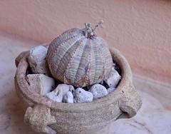 """Piccola """"Euphorbia obesa"""" (costagar51) Tags: mondello palermo sicilia sicily italia italy piante fiori natura anticando"""