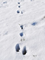 Hier war ein Hase, Trace of a Hare. (dorotheazinsser) Tags: 7dwf fauna hasenspur