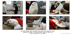 Harfang des neiges / Snowy Owl / Bubo scandiacus / Ukpik (FRITSCHI PHOTOGRAPHY) Tags: harfangdesneiges snowyowl buboscandiacus ukpik