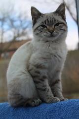 Esmé (charliejb) Tags: esmé cat feline home pet white whiskers ears 2018 bristol moggie moggy