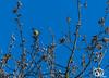 awd-feb-18-3 (voorhammr) Tags: 2018 jolandakraus amsterdamsewaterleidingduinen duinen fuut herten krooneend roodborst zwaan vogelenzang noordholland nederland nl