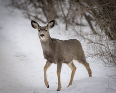 Mule deer in a park (D.Spence Photography) Tags: reddeer 2018 affection alberta baby centralalberta coronationpark park winter beauty canada muledeer deer