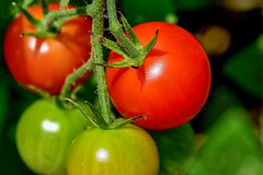 July Tomatoes (thatSandygirl) Tags: tomatoes vine plant red green cherrytomatoes food vegetables garden growing july ohio summer outdoor