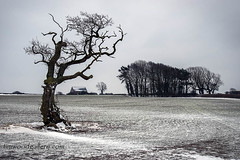 GNARLED TREE & THE BEAST FROM THE EAST. (IMAGES OF WALES.... (TIMWOOD)) Tags: lone tree gnarled craggy tythegston porthcawl bridgend beast from the east snow storm wind drifting field countryside wales south that barn