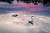 Ripples (Karol ...) Tags: swan reflection sunset ripple romance wildlife water