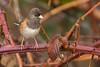Dark-eyed Junco (JohnReynolds2012) Tags: coquitlam britishcolumbia canada ca 2018 vancouver bc wildlife winter bird birds animals inaturalist