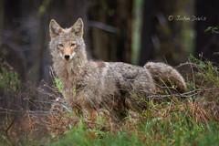 Coyote 20140503_4391 (GORGEous nature) Tags: canislatrans coyote habitat klickitatco spring vertebrates washington forest mammal predator may ©johndavis