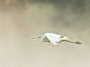 Little Blue Heron in flight 20180306 (Kenneth Cole Schneider) Tags: florida miramar westmiramarwca