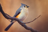Tufted Titmouse (Brian-D) Tags: bird titmouse tufted wildlife nature canon 5d mark 4 iv 5d4 sigma 150600