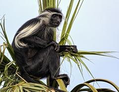 Colobus Monkey (Darts5) Tags: colobusmonkey monkeys monkey primate primates colobus 7d2 7dmarkll 7dmarkii 7d2canon ef100400mmlll closeup canon7d2 canon7dmarkll canon7dmarkii canon canonef100400mmlii