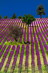 Hayatın Evreleri (BeNowMeHere) Tags: ifttt 500px field color travel tree fence stage trip lawn footpath rural scene flower bed parallel cultivated land nature landscape summer france flowers life provence lavender benowmehere hayatnevreleri