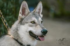 Mauno, the Saarloos woldog (RUFFlections Photography) Tags: dog dogphotography canoneos eos400d saarlooswolfdog saarlooswolfhond wolfdog closeup