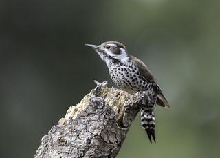 Arizona Woodpecker (Explored 1-15-18)