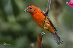 Flame-colored Tanager (fernaabs) Tags: flamecolored tanager piranga bidentata cardenal tangaradorsirrayada passeriformes cardinalidae aves fernaabs burgalin avesdecostarica