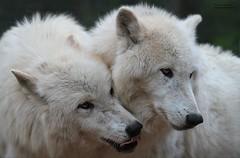 I LIKE YOU (babsbaron) Tags: nature tiere animals säugetiere caniden raubtiere wildtiere predators wolf wölfe wolves räuber jäger hunter lüneburg lüneburgerheide wildpark