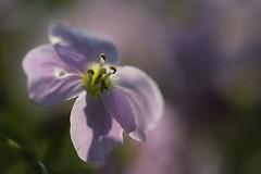 Rêve Flou..... (Callie-02) Tags: plante profondeurdechamp bokeh macro canon printemps extérieur jardin flou douceur couleurs pastel fleur mauve pourpre parme violet