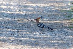 Hoopoe (hawaza) Tags: bird birds hoopoe riaformosa algarve portugal foundfood