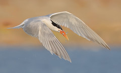 Two for Tuesday (bmse) Tags: elegant tern bolsa chica fish fishing doublecatch bmse salah baazizi wingsinmotion canon 7d2 400mm f56 l