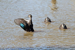 Pacific Black Ducks (0661) (Oz Nature Shots) Tags: pacificblackduck duck ducks pacific black bird birds wader large waterfowl chestnut dabbling australia birdlife emmysilvius emmy silvius oznatureshots fauna nature wings bill white green brown grey buff rocks victoria vic southaustralia sa water wetlands river bay feathers anassuperciliosa preening flight flying stripe ngc natures creations