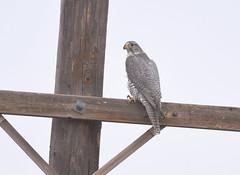 Gyrfalcon (Christopher Lindsey) Tags: gyrfalcon birds birding winter joseph enterprise oregon wallowacounty wallowas wallowa