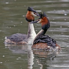 Bad Hair Day (photofitzp) Tags: coombeabbeypark greatcrestedgrebe water