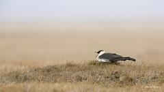 Revisiting Barrow - Pomarine Jaeger (Chantal Jacques Photography) Tags: pomarinejaeger birdscape wildandfree bokeh depthoffield revisitingbarrow cry