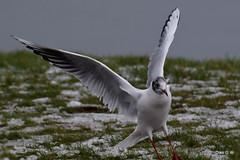 Mediterranean Gull (Diko G.W.) Tags: northyorkshire mediterraneangull nikond3300 scarborough