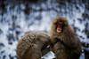 Living in the Snow (moaan) Tags: yamanouchi nagano japan monkey snowmonkey cold chill endure bear portrait monkeyportrait dof depthoffield bokeh bokehphotography canoneos5dmarkiii ef50mmf14usm 50mm f14 utata 2018