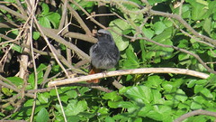 Black Redstart (hedgehoggarden1) Tags: blackredstart male birds wildlife nature canonpowershotsx50hs sheringham norfolk eastanglia uk rspb springwatch canon bbcwinterwatch
