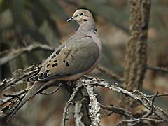 Columbidae : Zenaida macroura - Mourning Dove (Turtle Dove) (William Tanneberger) Tags: columbidae zenaida zenaidamacroura mourningdove turtledove dove wdtfebruary homewoods wildlife nature woodland