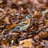 Brambling/Breacán (Fringilla montifringilla) (Mark Carmody) Tags: birdwatchireland fringillamontifringilla imagesbymarkcarmody markcarmodyphotography markcarmody ave bird birds birdwatch brambling breacan car carmo carmopolice carmopolis carmody finch fringilla ireland mark nut photographer powerscourt wicklow autumn beech beechnut fall female flock hide leaves local male markcarmodyphotographycom montifringilla photography winter woodland mc7d5297 beechmast mast seed forage foraging autumnal fallen fallenleaves twig twigs deciduous wooded trees tree migrant passerine migratory migration visitor