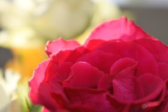 Darkpink rose-petals (annemarie.2) Tags: redrose rose pinkroses pinkrose roses red pink darkpink darkpinkroses darkpinkrose rosepetal rosepetals roseleaf roseleafs roos rozen roderoos donkerroze roze rozerozen rozeroos bloem flower flowers leafs leaf petal petals 1855mmlens 1855mm nikond3400 nikon scerenity