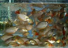 Aquarium Fish (Wolfgang Bazer) Tags: 昆明花鸟市场 flower bird market kunming yunnan china aquarium fish