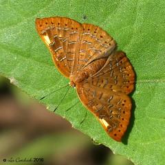 Emesis cerea (LPJC) Tags: butterfly quitacalzones manuroad manu peru 2016 lpjc emesiscerea metalmark
