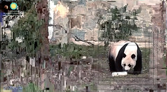 Mei Xiang (I heard some visitors say that weed can have this effect. I'll have to be more discriminating in my grazing because there are weeds all over my yard.) 2018-02-17 at 7.29.18 AM (MyFoto:)) Tags: ccncby panda endangered vulnerable meixiang smithsonian nationalzoo eating pixelating biscuit