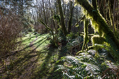 A Morning Hike (nwsteve) Tags: trees forest trail green fern moss shadows