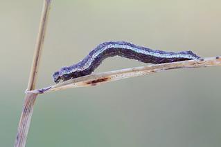 Geometer caterpillar