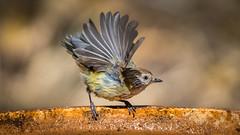 Just add water... (mark galer) Tags: alpha ambassador sony birds castlemaine maggiescottage