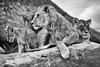 The family (http://www.jeromlphotos.fr) Tags: lion sauvage bauval blackwhite noirblanc nature canon eos 5dmarkii 28300 tamron family fabuleuse
