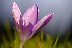 Shadow play (peeteninge) Tags: crocus flower purple shadow macro nature krokus paars bloem natuur schaduwen fujifilmxt2 fujifilm xf80mmf28