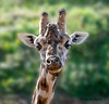 Tu fais quoi !!!  l'ami ............ (musette thierry) Tags: animaux animal animalier musette thierry d600 girafe portrait 28300mm nikon reflex