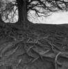 The roots of the druids (Mark Dries) Tags: markguitarphoto markdries hasselblad500cm distagon 50mmf40 wideangle 6x6 mediumformat ilford fp4 rodinal 125 1000 10 avebury uk druid roots tree