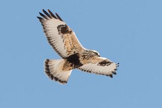 Rough-legged Hawk (immature-light morph)