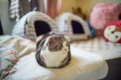 What are you looking at? (yiming1218) Tags: voigtlander nokton classic 40mm f14 sc vm40 福倫達 sony ilce7rm2 a7rm2 a7r2 cat scottish fold 摺耳貓 蘇格蘭摺耳 貓咪 貓 喵星人
